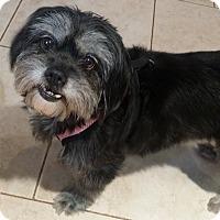 Adopt A Pet :: Bella Boo - Lawrenceville, GA