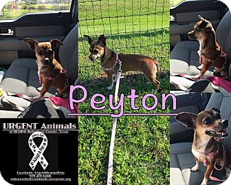 Chihuahua Dog for adoption in Hearne, Texas - Peyton