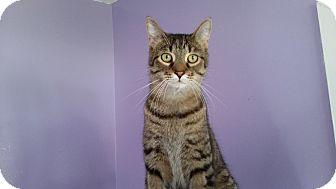 Domestic Shorthair Cat for adoption in Port Clinton, Ohio - Tom