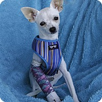 Chihuahua Puppy for adoption in Vista, California - Casper