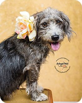 Schnauzer (Miniature)/Shih Tzu Mix Dog for adoption in Cincinnati, Ohio - Rosie
