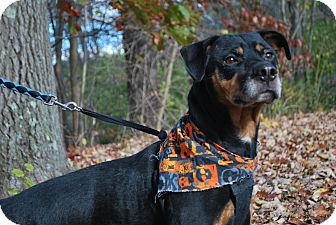 Rottweiler Dog for adoption in New Castle, Pennsylvania - Ceasar