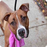 Boxer/American Staffordshire Terrier Mix Dog for adoption in Chicago Ridge, Illinois - PRINCESS