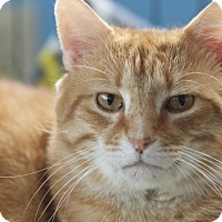 Domestic Shorthair Cat for adoption in LaGrange, Kentucky - Bop
