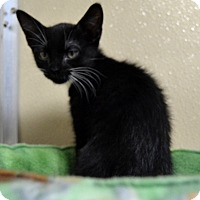 Adopt A Pet :: Tippy Toes - Wheaton, IL