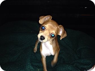 Chihuahua Mix Puppy for adoption in Winchester, California - Ringo