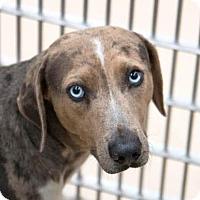 Catahoula Leopard Dog/Hound (Unknown Type) Mix Dog for adoption in Bryan, Texas - Keeper