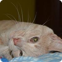 Domestic Shorthair Kitten for adoption in Winchester, Kentucky - Sonny