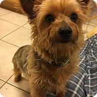 Adopt A Pet :: Lulu (DENVER) - Fort Collins, CO