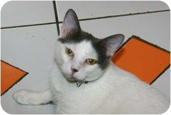 Turkish Van Cat for adoption in Berkeley Hts, New Jersey - Humble