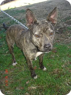 Boston Terrier/Boxer Mix Dog for adoption in Stilwell, Oklahoma - Blitzen