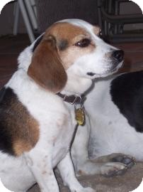 Beagle Mix Dog for adoption in Phoenix, Arizona - Kayla
