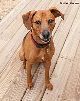 Hound (Unknown Type)/Terrier (Unknown Type, Medium) Mix Dog for adoption in Richmond, Virginia - Homer