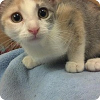 Adopt A Pet :: LOVEY- PetsMart Kitty - Scottsdale, AZ