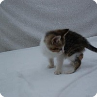 Domestic Shorthair Kitten for adoption in Harrisonburg, Virginia - Murray
