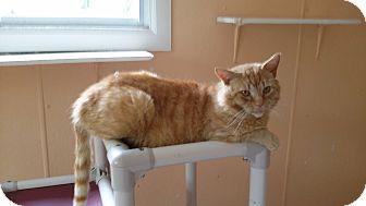 Domestic Shorthair Cat for adoption in Port Clinton, Ohio - Morris