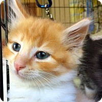 Adopt A Pet :: More Adorable Kittens! - Palo Alto, CA