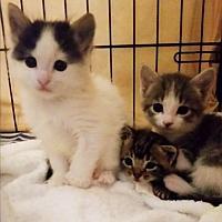 Domestic Mediumhair Kitten for adoption in Rosamond, California - Olaf