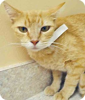 Domestic Shorthair Cat for adoption in Hinsdale, Illinois - ADOPTED!!   Daffodil