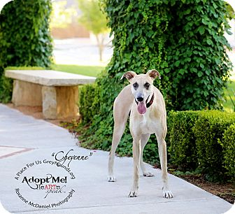 Greyhound/Mastiff Mix Dog for adoption in Lubbock, Texas - Cheyenne