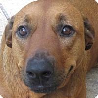 Adopt A Pet :: Briella!  Service Dog? - St Petersburg, FL