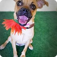 Adopt A Pet :: Leinani - Casa Grande, AZ