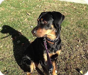 Rottweiler/Hound (Unknown Type) Mix Dog for adoption in Edgewater, New Jersey - Dana