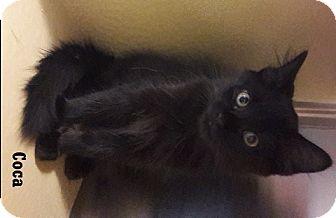 Domestic Mediumhair Kitten for adoption in Fullerton, California - Coca