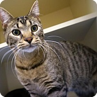 Domestic Shorthair Cat for adoption in Verona, Wisconsin - Captain Jack Harkness