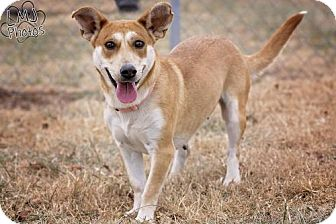 Husky/Corgi Mix Dog for adoption in Pryor, Oklahoma - Hayez