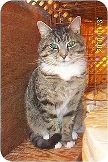 Polydactyl/Hemingway Cat for adoption in Nepean, Ontario - OLIVIER