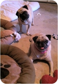 Pug Dog for adoption in Windermere, Florida - Ruby