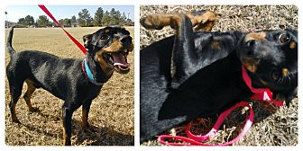 Miniature Pinscher Mix Dog for adoption in Scottsdale, Arizona - Taz