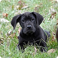 Adopt A Pet :: Piper - Marion, IL