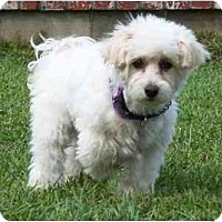 Adopt A Pet :: Noelle - La Costa, CA