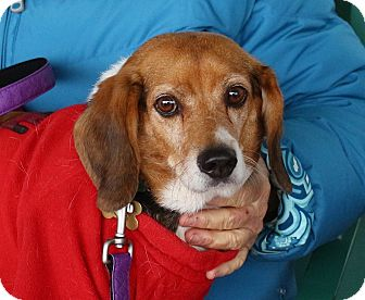 Beagle Mix Dog for adoption in Richmond, Virginia - Woodrow