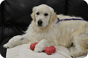 Golden Retriever Dog for adoption in Pacific, Missouri - Remi