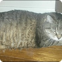 Domestic Mediumhair Cat for adoption in Brampton, Ontario - Princess