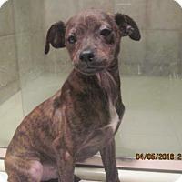 Adopt A Pet :: BRONSON - La Mesa, CA