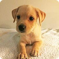 Adopt A Pet :: Patty-Bryanna Pup - Encino, CA