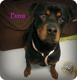 Rottweiler Mix Dog for adoption in Muskegon, Michigan - Demi