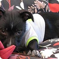 Adopt A Pet :: Isa - Roseville, CA