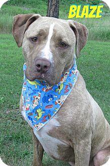 American Staffordshire Terrier Mix Dog for adoption in Menomonie, Wisconsin - Blaze