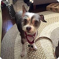 Adopt A Pet :: Mopsie - Austin, TX