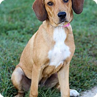 Hound (Unknown Type) Mix Puppy for adoption in Waldorf, Maryland - Reese
