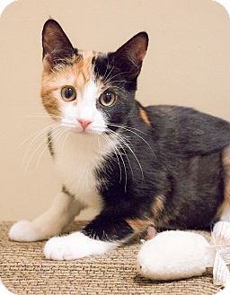 Domestic Shorthair Kitten for adoption in Chicago, Illinois - Emiko