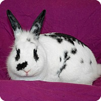 Lionhead Mix for adoption in Chicago, Illinois - Checkers