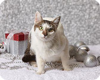 Domestic Shorthair Cat for adoption in Harrisonburg, Virginia - Amor