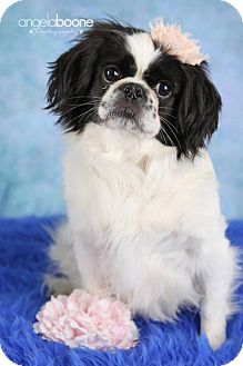 Pekingese Mix Dog for adoption in Inver Grove, Minnesota - Tilly