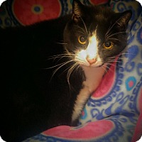 Domestic Shorthair Cat for adoption in Swansea, Massachusetts - Sylvester
